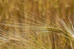 Orecchie del grano nel campo Fotografie Stock Libere da Diritti