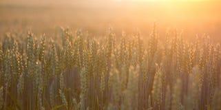 Orecchie del grano nel campo Immagine Stock Libera da Diritti