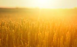 Orecchie del grano nel campo Fotografia Stock Libera da Diritti