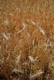 Orecchie del grano nel campo agricolo Immagine Stock Libera da Diritti