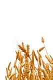 Orecchie del grano nel campo su fondo bianco Fotografie Stock Libere da Diritti