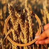Orecchie del grano nel cerchio di ricamo Campo sul concetto del raccolto di tramonto ispirazione immagine stock