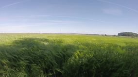 Orecchie del grano nel vento nel Mo lento, stock footage