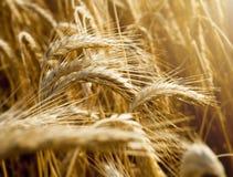 Orecchie del grano nell'ambito della fine del sole su Immagini Stock