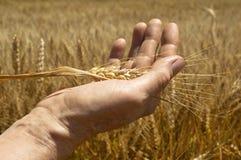 Orecchie del grano nella mano. Fotografia Stock Libera da Diritti