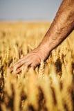 Orecchie del grano nella mano Immagini Stock