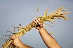 Orecchie del grano nella mano Immagine Stock