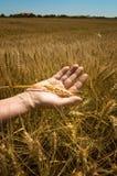 Orecchie del grano nella mano. Immagini Stock
