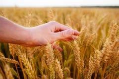 Orecchie del grano nella mano del ` s dell'uomo Campo sul concetto del raccolto di tramonto Fotografie Stock Libere da Diritti
