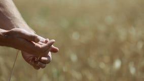 Orecchie del grano nella mano dell'uomo archivi video