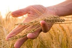 Orecchie del grano nella mano dell'uomo Campo sul concetto del raccolto di tramonto Immagine Stock Libera da Diritti