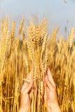 Orecchie del grano nella mano delle donne Fotografia Stock