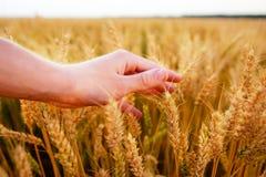 Orecchie del grano nella mano del ` s dell'uomo Campo sul concetto del raccolto di tramonto Fotografia Stock Libera da Diritti