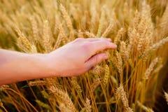 Orecchie del grano nella mano del ` s dell'uomo Campo sul concetto del raccolto di tramonto Fotografia Stock