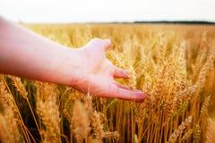 Orecchie del grano nella mano del ` s dell'uomo Campo sul concetto del raccolto di tramonto Immagini Stock Libere da Diritti