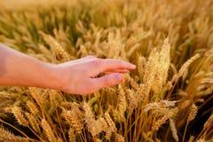 Orecchie del grano nella mano del ` s dell'uomo Campo sul concetto del raccolto di tramonto Immagine Stock Libera da Diritti