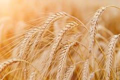 Orecchie del grano o primo piano dorate della segale Il raccolto fresco di segale Campo di Immagine Stock Libera da Diritti