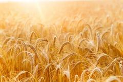 Orecchie del grano o primo piano dorate della segale Il raccolto fresco di segale Campo di Fotografie Stock