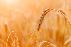 Orecchie del grano o primo piano dorate della segale Il raccolto fresco di segale Campo di Immagini Stock