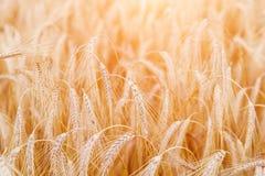 Orecchie del grano o primo piano dorate della segale Il raccolto fresco di segale Campo di Fotografia Stock Libera da Diritti