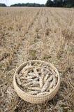 Orecchie del grano in piatto di vimini sul campo dell'azienda agricola dopo la raccolta Fotografie Stock