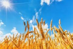 Orecchie del grano sotto il cielo nuvoloso ed il sole Immagine Stock