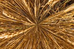 Orecchie del grano sparate da sopra il macro colpo immagini stock libere da diritti