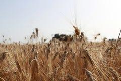 Orecchie del grano su un giacimento di grano in Sicilia fotografia stock libera da diritti