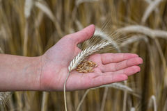 Orecchie del grano sulla mano Immagine Stock