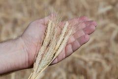 Orecchie del grano sulla mano di un uomo Immagini Stock Libere da Diritti
