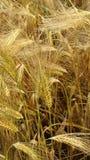 Orecchie del primo piano del grano Immagine Stock Libera da Diritti