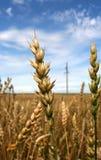 Orecchie del primo piano di grano compitate Fotografia Stock Libera da Diritti