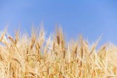 Orecchie del primo piano di grano contro il cielo fotografie stock libere da diritti