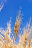 Orecchie del primo piano di grano contro il cielo fotografia stock