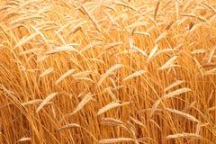 Orecchie del primo piano dorato del grano Campo di frumento Immagini Stock Libere da Diritti