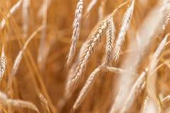 Orecchie del primo piano dorato del grano Campo di frumento Fotografia Stock