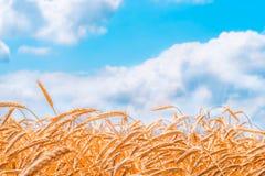 Orecchie del primo piano dorato del grano Campo di frumento Fotografia Stock Libera da Diritti