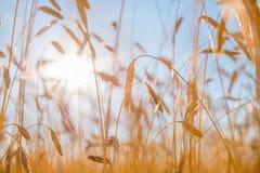 Orecchie del primo piano dorato del grano Campo di frumento Fotografie Stock