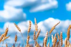 Orecchie del primo piano dorato del grano Campo di frumento Immagini Stock