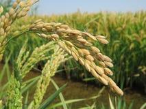 Orecchie del riso Immagine Stock Libera da Diritti