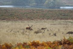 Orecchie del ` s dei cervi e di Richmond Park Stags Fotografie Stock