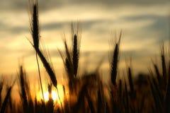Orecchie del siero di latte alla luce solare calda Immagini Stock Libere da Diritti