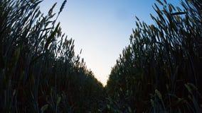 Orecchie dell'alba del grano archivi video
