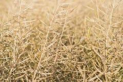 Orecchie dell'avena di grano isolate su fondo bianco Fotografie Stock Libere da Diritti