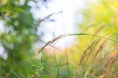 Orecchie dell'erba alla luce del sole Immagine Stock