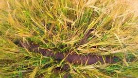 Orecchie dell'ondeggiamento dell'orzo nel vento Campo di bei orzo della segale dell'oro di estate e primo piano del grano per ind stock footage