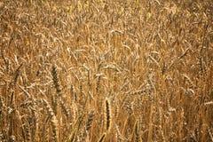 Orecchie dell'oro del fuoco molle del grano, primo piano, fondo di agricoltura Fotografia Stock
