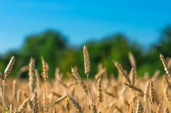 Orecchie dell'oro di grano contro la foresta ed il cielo blu Fotografie Stock Libere da Diritti