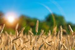 Orecchie dell'oro di grano contro la foresta ed il cielo blu Fotografia Stock Libera da Diritti