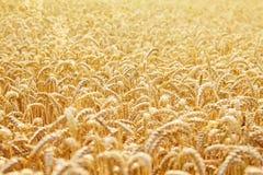 Orecchie della fine dorata del grano su fotografie stock libere da diritti